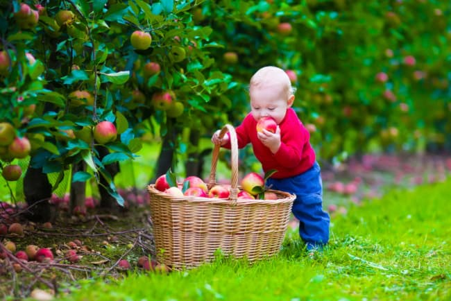 A baby boy with a basket of apples in an orchard.  A trip to Thompsons' Hillcrest Orchard could create a new generations of apple lovers.