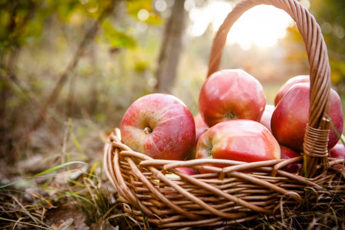 Basket of shiny, red apples -- you may discover a new favorite apple at Fireside Orchard and Gardens.
