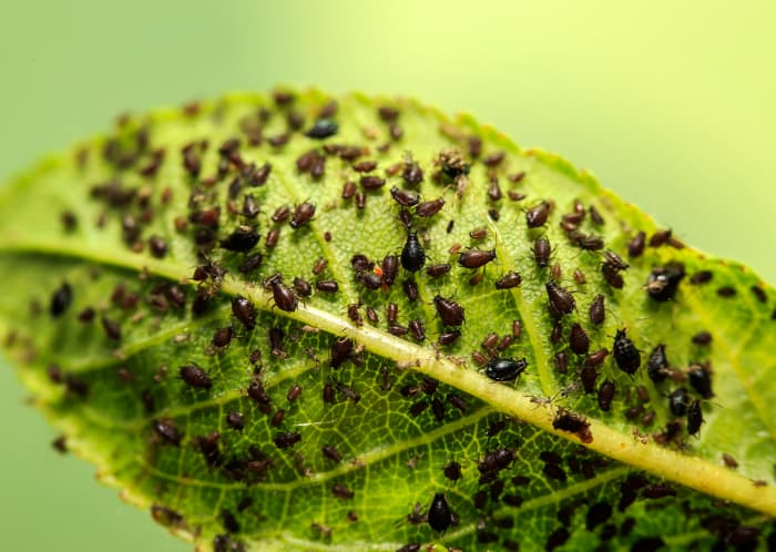 Closeup of the underside of a leaf covered with black cherry aphids, a cherry tree pest.