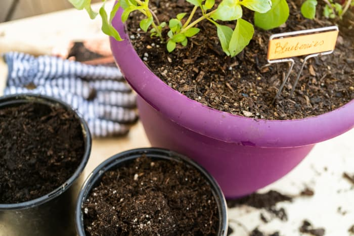 Closeup of pot with blueberry seedlings and small container with potting soil.  Starting from seed is one method for how to grow blueberries.
