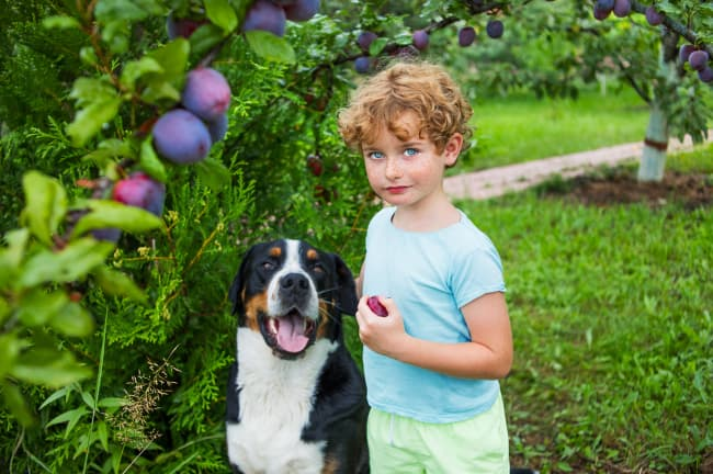 """A young boy with a plum in his hand next to a dog.  The answer to """"Can dogs eat plums"""" is yes."""
