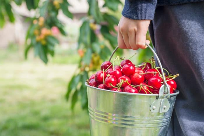 Hand holding a metal bucket of cherries.