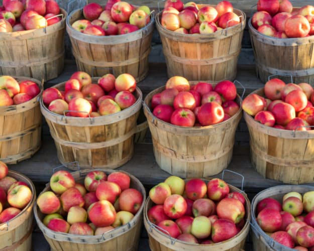 A dozen bushel baskets filled with Honeycrisp apples -- a popular apple variety that can be found at Aamodt's Apple Farm.