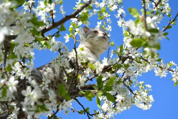 A striped cat climbing in a flowering plum tree.
