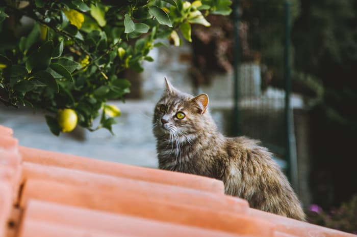 """A multicolored cat on a clay tile roof near branches of a lemon tree.  Since the answer to """"Can cats eat lemons"""" is """"No,"""" it's important to take steps to keep your cat safe while still being able to enjoy citrus fruit."""