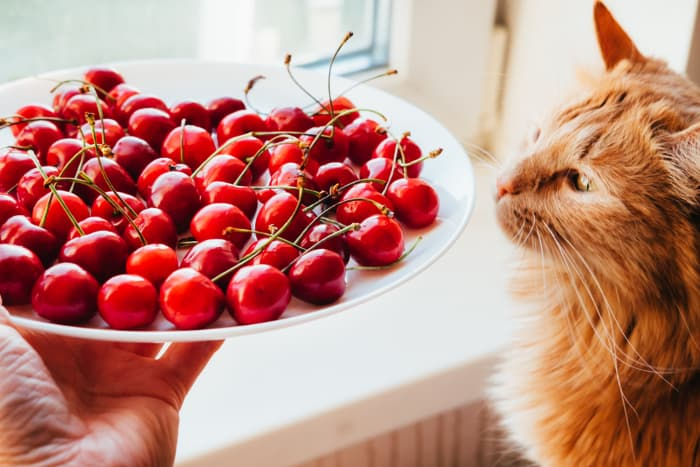 Closeup of an orange cat sniffing a plate of cherries being held by a person.
