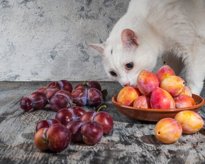 """A white cat sniffing two kinds of plums.  If you own a cat, you may have wondered """"Can cats eat plums?"""""""