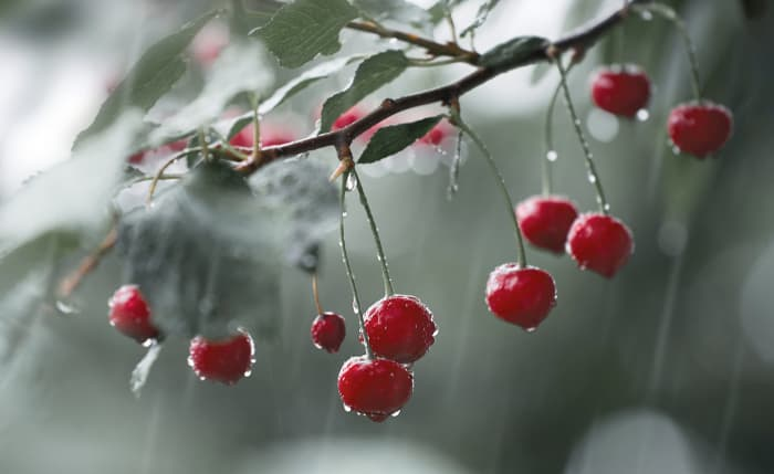 Cherry tree branch with red cherries in the rain.