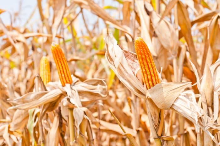 Closeup of corn stalks at harvest time.  Fireside Orchard and Gardens was originally a cornfield.
