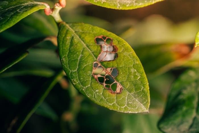 Closeup of a blueberry leaf with holes created by pest or disease.  Knowing how to grow blueberries includes treating and preventing disease that can kill your shrubs.