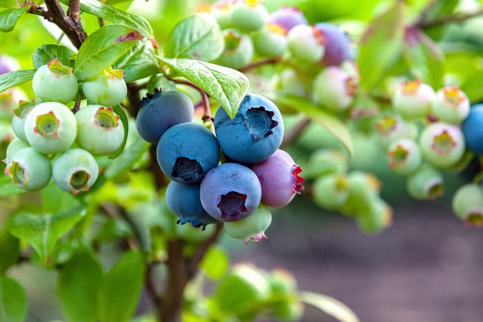 Closeup of clusters of blueberries in different stages of ripeness.  Part of how to grow blueberries is being able to know when   to pick blueberries.