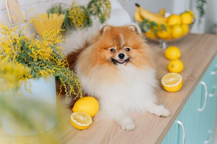 A Pomeranian dog on a kitchen counter, surrounded by lemons.