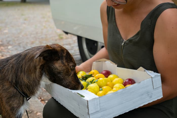 Closeup of a brown dog sniffing plums in a box a woman is holding.  You may wonder if plums are safe and can dogs eat plums?