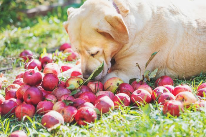 A yellow labrador retriever lying next to a pile of apples.  Aamodt's Apple Farm is dog friendly and welcomes canine family members with manners