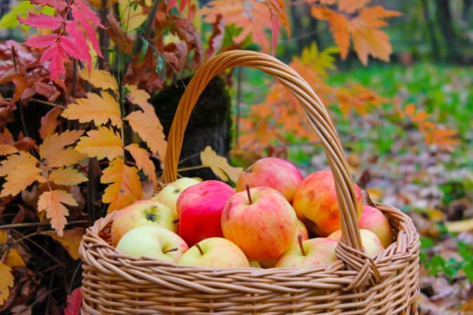 Closeup of basket of picked apples and colorful fall leaves in the background.