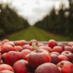 An apple orchard at fall harvest.