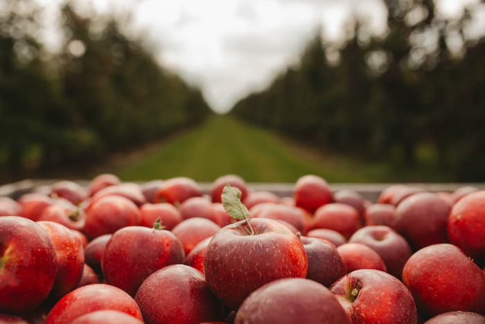 Closeup of red apples in an orchard -- Pine Tree Apple Orchard is at its best during the fall harvest season.