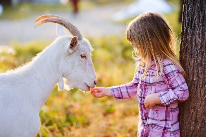Young girl feeding white goat