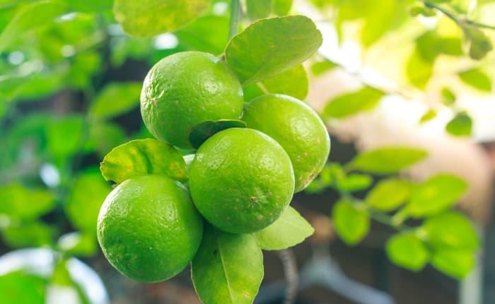 Closeup of a group of green lemons.