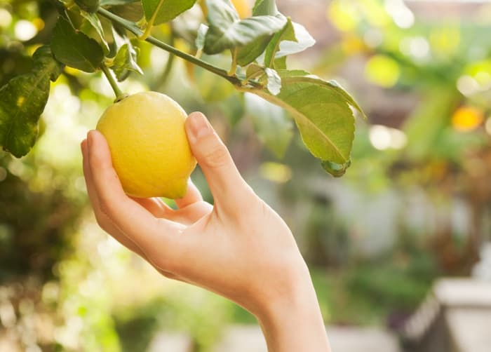 Closeup of hand picking a lemon from a tree.  Knowing the right time to pick lemons is critical for making sure you have ripe, delicious fruit to use.