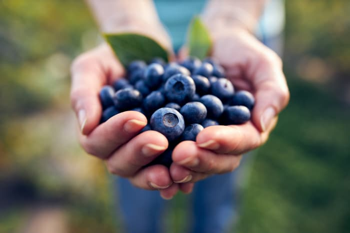 Closeup of hands holding blueberries.  A delicious, healthy harvest of fruit is the result when you know how to grow blueberries.