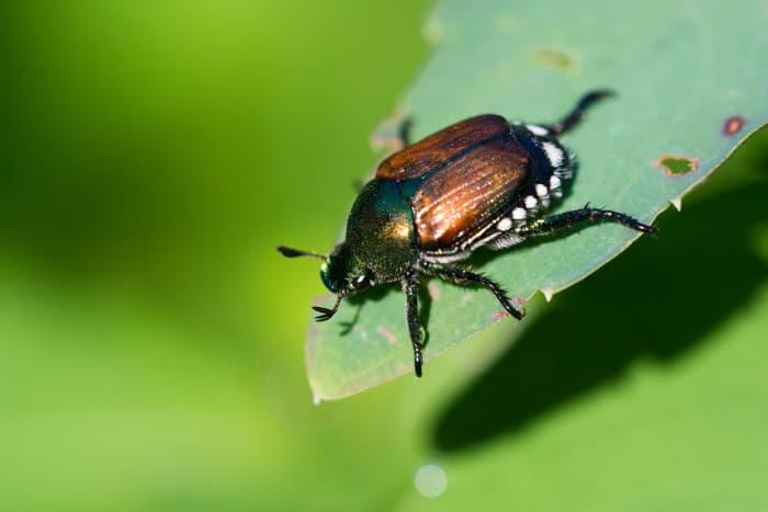 Closeup of a Japanese beetle, a cherry tree pest.