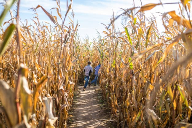 View of two kids running in a corn maze -- the corn maze at Afton Apple Orchard has three challenging phase levels.
