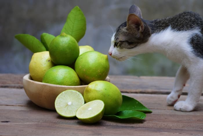 """Multicolored kitten sniffing lemons.  If you have a cat, you may have wondered """"Can cats eat lemons?"""""""
