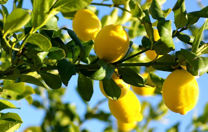 Tree branch with lemons hanging from it that resembled the Avalon or Avon lemon, one of the many types of lemon trees.