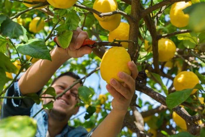 Man using a cutting tool to cut a lemon from a tree.  Knowing the right time to pick lemons as well as knowing how to correctly pick them go hand in hand.