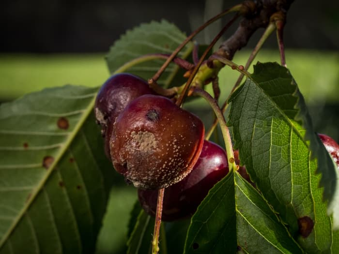 A closeup of a cluster of cherries with one showing signs of the cherry tree disease, brown rot.