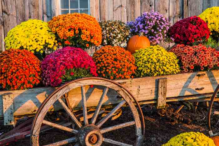 Colorful Mums in wagon