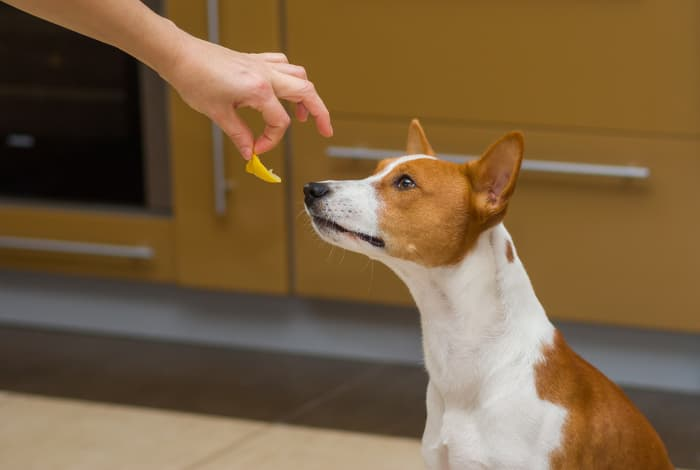 """A Basenji dog showing interest in a piece of lemon being offered -- since some dogs will sample fruits and vegetables, you may wonder """"Can dogs eat lemons?"""""""