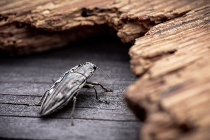 Closeup of a Pacific flatheaded borer beetle, a cherry tree pest.