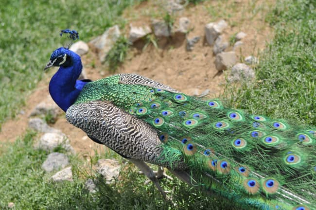 Side rear view of a male peacock -- peacocks can be seen at Minnesota Harvest.
