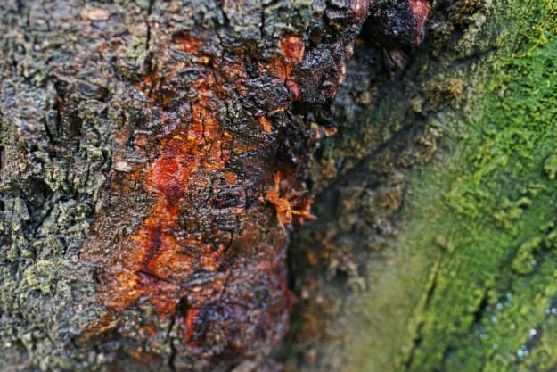 Closeup of a tree trunk with orange tissue showing beneath the bark -- this is a telltale sign of Phytophthora, the cause of the blueberry bush disease, root rot.