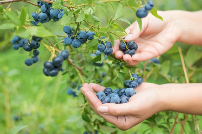 Closeup of hands picking blueberries.