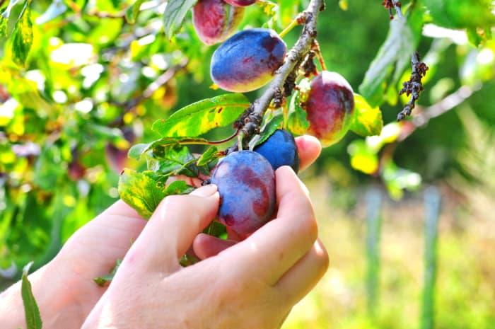 Hands picking a plum off a tree.