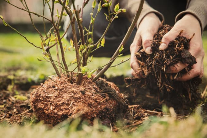 Closeup of hands planting a shrub.  Proper planting is the first step how to grow blueberries.