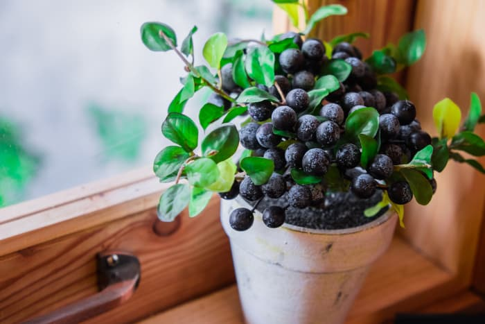 Closeup of a small blueberry bush in a pot on a windowsill.  Indoor gardening is an option for how to grow blueberries.
