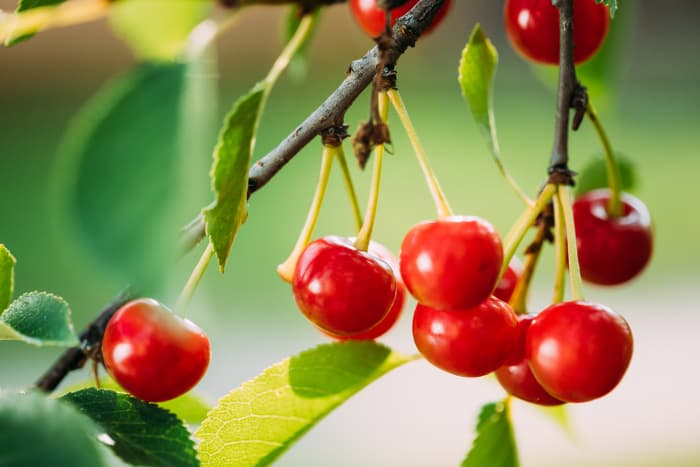 Closeup of bright red cherries on a tree.  When you know how to prune cherry trees you get the maximum harvest of cherries each year.