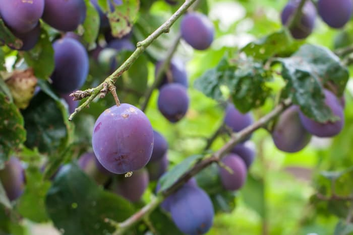 Closeup of ripe, purple plums hanging from a branch.  Plum tree pests are a threat to a healthy, delicious plum harvest.