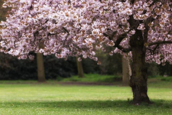 A single cherry tree in bloom.