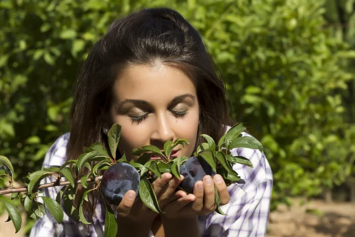 Woman smelling dark-colored plums on a tree.  A plum's scent is a clue to let you know when the right time to pick plums has arrived.