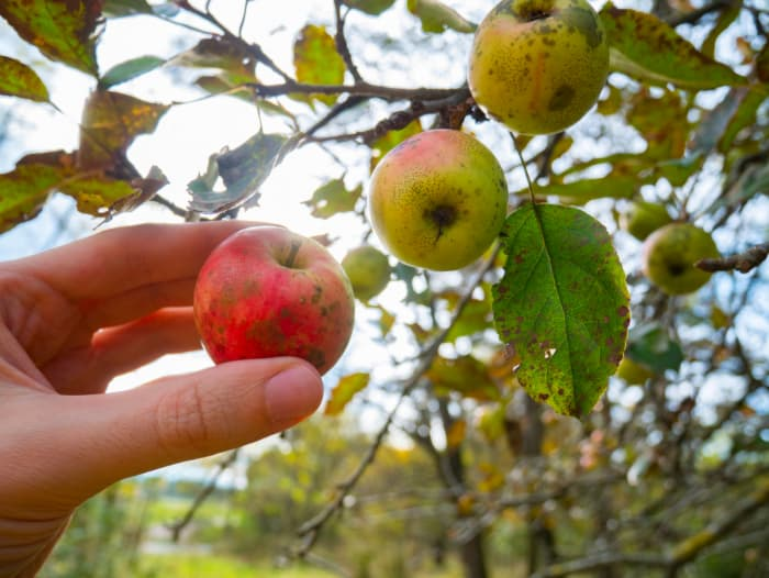 Closeup of apples showing brown blotches caused by sooty blotch and flyspeck,  an apple tree disease.