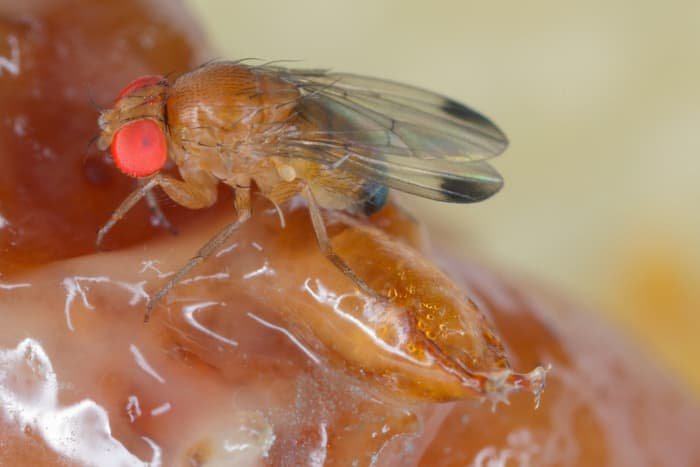 Closeup of a Spotted Wing Drosophila, a type of fruit fly cherry tree pest.