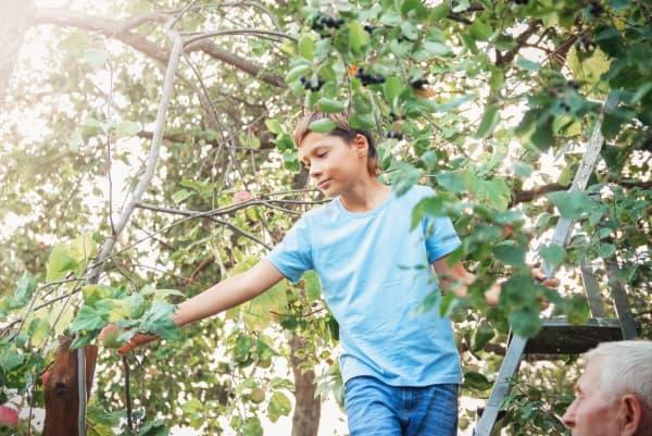 A teenage boy on a ladder picking an apple.