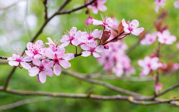 Closeup of Thundercloud Plum tree blossoms.