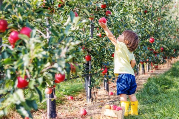A toddler boy reaching up to pick apples from a dwarf apple tree.  Emma Krumbee's Orchard and Farm grows dwarf trees to provide an apple picking experience all members of the family can enjoy.