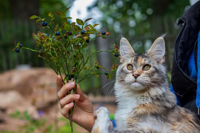Closeup of a woman holding a blueberry branch with a cat on her lap.